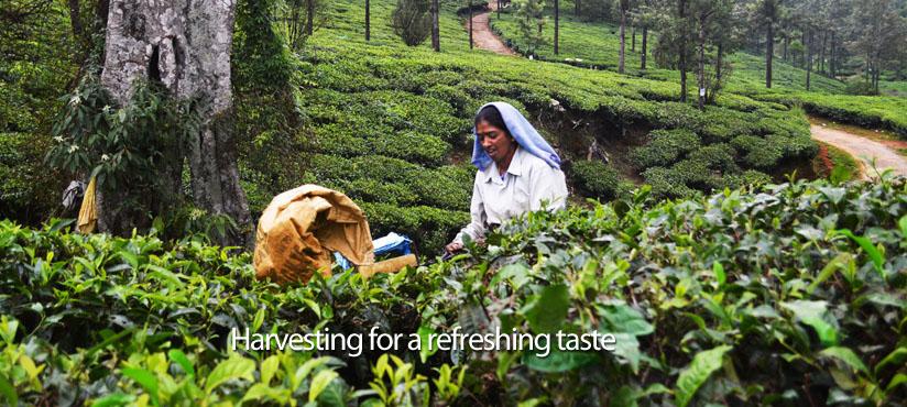 munnar-kerala-teaplantation